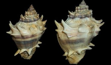 SHANKHA (CONCH)- THE SCIENCE OF TRUTH